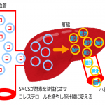 SMCSの肝臓の働き(図)